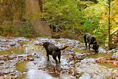(Angie Antimatter) Tags: autumn trees dog tree fall dogs nature leaves creek louisiana hiking pitbull trail