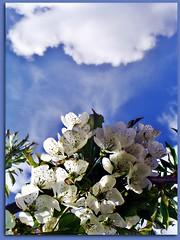 DSC04289-    Bien podría la naturaleza ser nuestro Dios... tiene el poder de destruir y dar vida, mas no de defenderse de su creación -el hombre-. (alma-81) Tags: azul flres árbolesfrutales grulleros