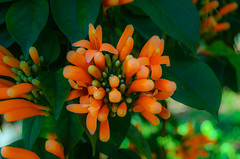 Pyrostegia Venusta (_Rjc9666_) Tags: flowers flores portugal closeup 21 algarve 34 tavira flors 197 nikon1855 ruijorge9666