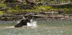 "Moose in Lake Isabel • <a style=""font-size:0.8em;"" href=""http://www.flickr.com/photos/63501323@N07/6690691857/"" target=""_blank"">View on Flickr</a>"