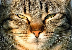 Cat Up Close (Smirfman) Tags: closeup cat nose eyes feline sony whiskers alpha inspain a550 thepinnaclehof blinkagain tphofweek133