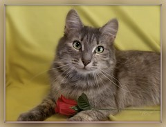 Bella & The Rose (KrazyBoutCats) Tags: cats pets flower beauty animals yellow redrose kitty kittens felines bella simple catrose catnipaddicts