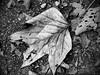 Leaf on Asphalt (Proleshi) Tags: blackandwhite monochrome droid proleshi camera360 droidx jamaljosephs