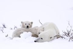 "Eisbären Cape Churchill. Hudson Bay, Kanada (9) • <a style=""font-size:0.8em;"" href=""http://www.flickr.com/photos/73418017@N07/6730323643/"" target=""_blank"">View on Flickr</a>"
