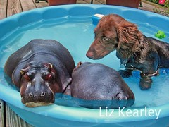 Darn pygmy hippos! (Doxieone) Tags: blue summer dog brown water pool photoshop puppy long chocolate dachshund explore final exploreinterestingness hippo pup haired hippos duc 1002 longhaired final1 topfavorite teddyset 1196920 49315923 63117930 682182007 202620022808 2281210317 34732381208 duchide ddate pup2011