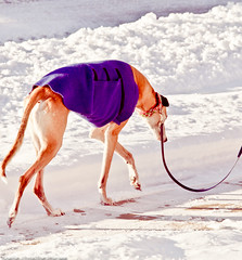 Grey Hound Taking a Walk 21/366 (noelle-christine-images) Tags: winter greyhound snow january 365 dogwalking dogsweater sunprairiewisconsin