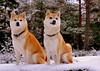 "2 Shiba, My and Mio (Terje Håheim (thaheim)) Tags: winter portrait dog pets snow nature horizontal outdoors vinter nikon day shibainu shiba snø d90 ""closeup"" petcollar ""lookingatcamera"" 35mmf18g ""focusonforeground"" ""nopeople"" ginordicjan12 ""domesticanimals"" ""animalthemes"" ""twoanimals"""