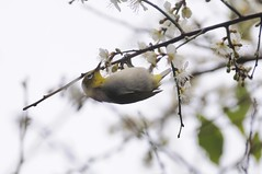 () Tags: f8 japanesewhiteeye   iso250 zosteropsjaponica  prunusmume  friendlyflickr nikoncorporation 4000mm  1400secs  nikond300s  mumeplantjapaneseapricot 20120126114324