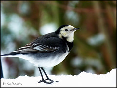 Wagtail, Berkhamsted. (Ben Cox Photography) Tags: snow bird garden berkhamsted wagtail