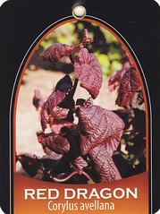 Red Dragon Tag 1 (growing hazelnuts) Tags: forsale bonsaitree redleaf contortedhazelnut reddragon corylusavellana burgundyleaves ornamentaltree smallshrub contortedfilberttree landscapingtree smallornamentaltree easternfilbertblightresistancereddragoncontortedfilbertcontortedhazelnutuniqueshrubsbestlandscapingtreeidentificationnewtypeoftreesmalltreessmallornamentalshomegardeing