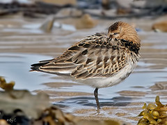 Sleepy Dunlin (roychurchill (local patch birder)) Tags: bird birds wildlife devon dunlin northdevon instow wader avianexcellence