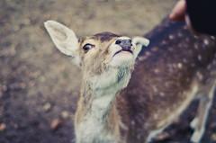(Kaat dg) Tags: nature deer animal nikon d5100 fawn colour colours bokeh hand 18