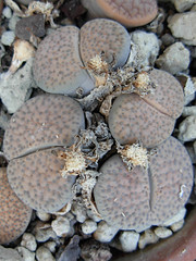 Lithops fulviceps var. lactinea (Succulents Love by Pasquale Ruocco (stabiae)) Tags: southafrica lithops mesembryanthemum mimicry succulents rsa stabiae mimetismo aizoaceae mesembryanthemaceae cactusco mesembs fulviceps floweringstones sassifioriti pasqualeruocco mesembryanthema succulentslove