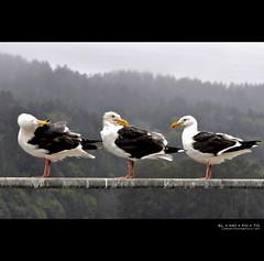 morning meeting of the bedhead club (elmofoto) Tags: morning bridge seagulls bird northerncalifornia standing wings wind fav50 seagull feathers preening fav20 reservoir norcal railing fav30 pf gettyimages 1000v fav10 fav40 fav60 fav80 fav70 projectthrowback elmofoto lorenzomontezemolo forcurators