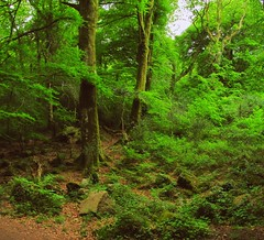 Longtimber woods flourish in May (Dazzygidds) Tags: england woodland scenic devon dartmoor atmospheric westcountry harford beechtrees ivybridge dartmoornationalpark wonderfulleaves longtimberwood beautifulbranching pithillwood riverermevalley