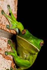 White-lipped Tree Frog (Cameron J Galipo) Tags: wildlife frog frogs greenfrog whitelippedtreefrog whitelippedgreentreefrog whitelippedtreenfrog