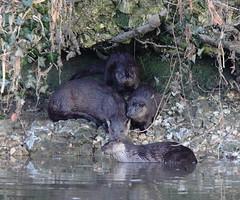 Otter Family (Yogibear44) Tags: blandford riverstour otterfamily