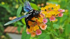 Con Ong Hút Mật Hoa Ngũ Sắc / Black Bee Feeding on Lantana @ Café Chim Xanh, Hanoi (чãvìnkωhỉtз) Tags: flower fauna insect lumix flora raw bee vietnam hanoi ong blackbee 2011 verbenaceae việtnam hànội lx5 badinh quận ngũsắc bađình hoangũsắc trâmổi bôngổi cafechimxanh gavinkwhite ongđen