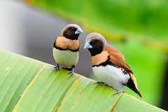 What's going on ? Chesnut-breasted Munia (J-P.M) Tags: ngc npc tahiti vini coth polynsie polynsiefranaise supershot lonchura specanimal avianexcellence castaneothorax coth5 capucindonacole allofnatureswildlifelevel1 allofnatureswildlifelevel2 allofnatureswildlifelevel3 allofnatureswildlifelevel4 allofnatureswildlifelevel5 allofnatureswildlifelevel8 allofnatureswildlifelevel6 allofnatureswildlifelevel7 allofnatureswildlifelevel9 allofnatureswildlifelevel10 chesnutbreastedmunia