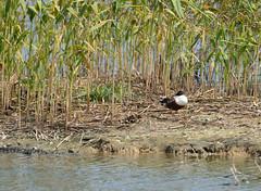 DSC_0786 (H Sinica) Tags: hongkong reserve naturereserve  northernshoveler wwf maipo deepbay  ramsar   ramsarsite
