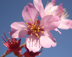 What a Beautiful Day :-) (Lisa Holder NC) Tags: pink blue sky flower nature spring blossom