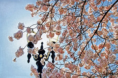i am going to close my eyes and listen (1crzqbn) Tags: pink flowers trees sunlight color nature backlight reflections shadows bokeh textures lamppost 7d sakura cherryblossoms pdx tommccallwaterfrontpark 1crzqbn iamgoingtoclosemyeyesandlisten