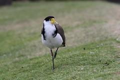 Masked lapwing. (Chris Firth of Wakey.) Tags: sydney sydneybotanicalgardens maskedlapwing