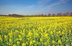 Rapsfeld (garzer06) Tags: himmel wolken insel gelb grün blau rügen raps vorpommern naturephotography mecklenburgvorpommern rapsfeld landscapephotography naturfotografie inselrügen wolkenhimmel landschaftsbild landschaftsfotografie landschaftsfoto