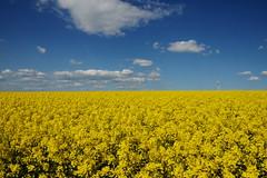 yellow sea II (rainbowcave) Tags: field yellow clouds spring wolken gelb windrad raps windturbine canola frhling rapeseed rheinhessen rapsfeld windengine kleinwinternheim