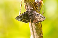 7K8A8807 (rpealit) Tags: nature butterfly scenery wildlife area hatchery duskywing juvenals pequest