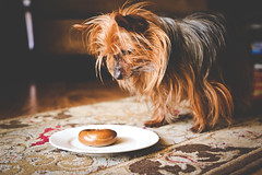Bite Size Bagel (odonata98) Tags: dog yorkie breakfast canon einstein bagel tease yorkshireterrier matte patience doglover leaveit einsteinbagel