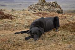 4mai_Thorbjorn_077 (Stefn H. Kristinsson) Tags: dog mountain dogs iceland spring hiking may ma vor hundur sland ganga fjallganga tamron2875mm grindavk hundar grindavik orbjrn nikond800 thornbjorn orbjarnarfell
