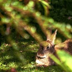 garden Rabbit (alex) Tags: wild sun rabbit bunny green grass garden kent ears peter shade squareformat northdowns sunbathing