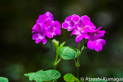 Big Sur, CA (kumagai.atsushi) Tags: flowers big purple bigsur sur