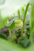 Mayapple (samantha cora photo) Tags: spring wildflower ephemeral mandrake mayapple barneveldprairie