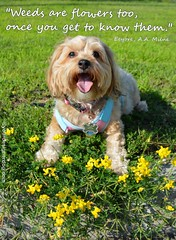 Wildflowers or Weeds (yourdesignerdog) Tags: flowers pets cute dogs smiling tongue wednesday out blog weeds all with designer quote wordpress wildflowers posts eeyore wordless ifttt