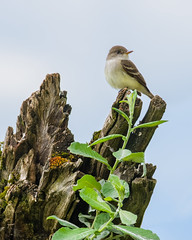 Willow Flycatcher (Wes Aslin) Tags: canada britishcolumbia avian abbotsford willowflycatcher empidonaxtraillii
