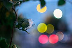 Carl Zeiss Jena Biotar 2/58 (::nicolas ferrand simonnot::) Tags: paris | 2016 equiped with carl zeiss jena biotar 58mm f2 10 blades m42 night bokeh depth field street photography flower color blue pink red yellow green vintage manual prime lens german