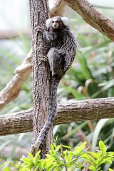 Ouistiti à toupet blanc (gimbellet) Tags: animal animals canon zoo monkey nikon animaux parc marmoset singe ouistiti