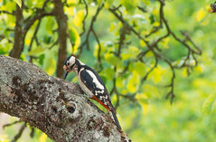 Woodpecker chowing down (marcjones4) Tags: nature birds germany woodpecker outdoor wildlife tuebingen