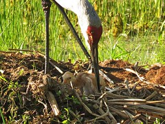 """Howdy, Mom!""Baby Sandhill Crane's emergence!! (Photos by the Swamper) Tags: cranes sandhillcranes wadingbirds"