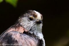 Long-tailed tit portrait 46727 (wildlifetog) Tags: portrait england bird canon european martin britishisles britain isleofwight southeast seaview blackmore longtailedtit herseynaturereserve eos7dmkii mbiow