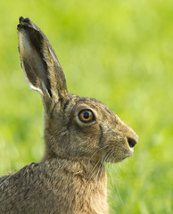 Brown Hare (georgesudlow) Tags: nature hare wildlife