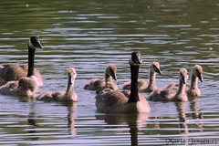 The Goose Family (mariajensenphotography) Tags: geese goose coquitlam gosling