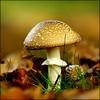 "Golden panther. (glemoigne) Tags: fungus fungi funghus pilze mushroom shroom shrooming shroomhunting amanite amanitapantherina champignon penarbed logonnadaoulas logonna glemoigne gilbertlemoigne finistère bzh brittany bretagne breizh ""flickraward5"" mygearandme mygearandmepremium mygearandmebronze bestcapturesaoi eltringexcellence tplringexcellence artistoftheyearlevel2 ngc mygearandmeplatinum mygearandmediamond npc flickrstruereflection1 allofnatureswildlifelevel1 flickrstruereflection2 flickrstruereflection3 allofnatureswildlifelevel2 flickrstruereflection4 sop allofnatureswildlifelevel3 flickrstruereflection7 flickrstruereflection6 flickrstruereflection5 flickrstruereflectionexcellence wonderfulworldofmacro allofnatureswildlifelevel4 allofnatureswildlifelevel5 elitepalacefav allofnatureswildlifelevel7 allofnatureswildlifelevel6 aboveandbeyondlevel2 aboveandbeyondlevel3 aboveandbeyondlevel4 pureclassgoldbandaward pureclassplatinumbandaward pureclassdiamondlevel1 pureclassdiamondlevel2 allofnatureswildlifelevel8 allofnatureswildlifelevel9 allofnatureswildlifelevel10 frameit frameitlevel2 frameitlevel3 frameitlevel4 frameitlevel5 frameitlevel6 frameitlevel7 frameitlevel9 frameitlevel8 frameitlevel10"