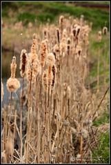 Junquera (Janiscula) Tags: uk inglaterra england plants naturaleza nature reeds unitedkingdom reserve fluff cattails naturereserve essex picnik marshland juncos marshes reinounido rainham rspb catails reservanatural rainhammarshes