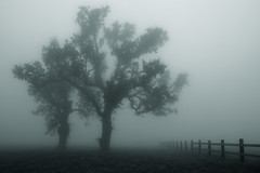 vanishing fence (Andy Kennelly) Tags: trees fog fence oak ajax8055 instagram