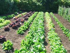 Yum! (Owen H R) Tags: trees castle fence garden photo bush july soil lettuce rows hedge cabbage peas labels straight 18 2011