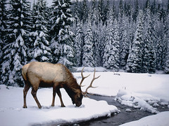 AX001905 (bsc_album) Tags: trees winter snow canada water animals mammal outdoors photography stream quiet seasons wildlife colorphotography nobody deer evergreen serenity northamerica remote elk runningwater pinetrees naturalworld wapiti freshwater conifer