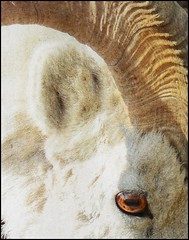 Ram Abstract with texture (Rebecca Tifft) Tags: abstract sheep wildlife ram denali denalinationalpark dallsheep wildlifecloseup abstractwildlife